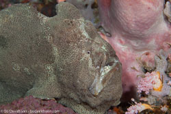 BD-140313-Padre-Burgos-1537-Antennarius-commerson.-(Lacepède.-1798)-[Commerson's-frogfish].jpg